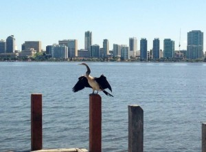 An Australian Darter is a common species of bird found in the ecosystem of the Swan River.