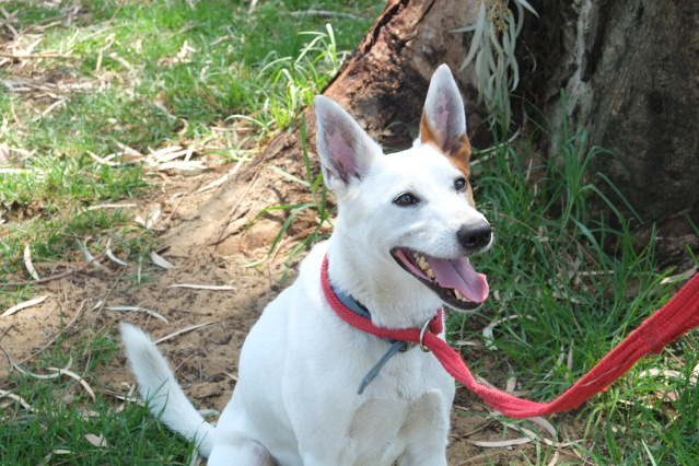 All dogs up for adoption at APSWA have microchips including Alaska (pictured)