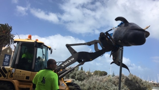 The five-metre whale was lifted whole into a tip truck by City of Fremantle workers.