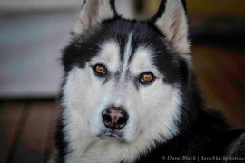 A fight for husky rights and the limelight