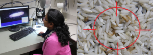 Photo: Manjree Agarwal researches the disease-ridden khapra beetle. Right: the foreign pest contaminates grain supplies, which can lead o food poisoning and skin lesions. Source: Graeme Paton and Manjree Agarwal.