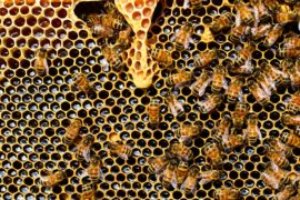 Tricky virus threatens Australian honeybees