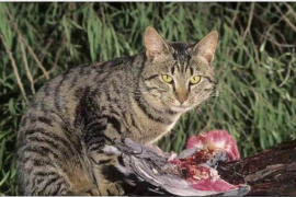 Feral cats caught hunting possums and snakes