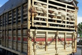 Coronavirus sparks live export debate over meat security