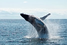 Crucial humpback mating grounds discovered